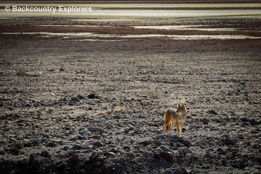 Lone coyote on the Badwater salt flats